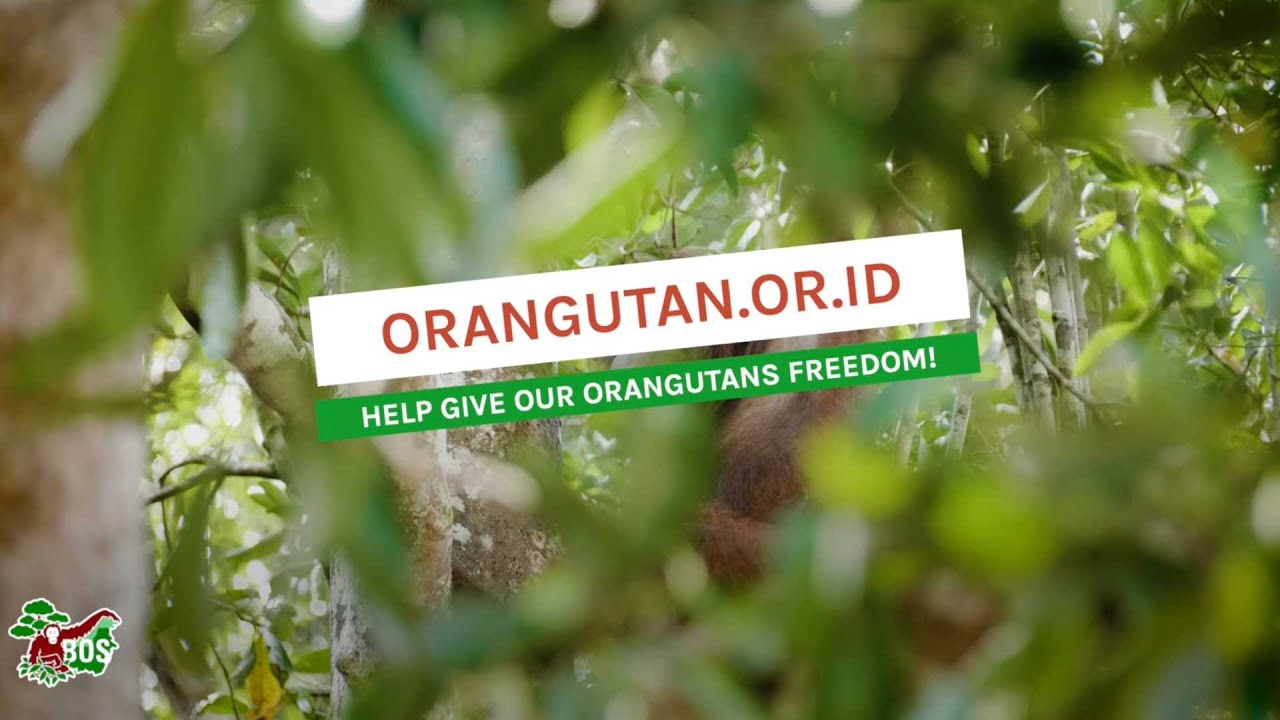 HELP US TO GET OUR ORANGUTANS TO SAFETY!