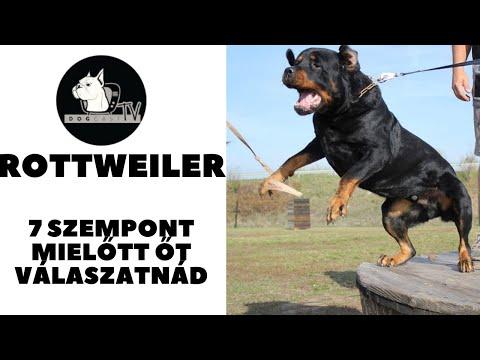 Mielőtt kutyát vennél – ROTTWEILER! 7 szempont, amit érdemes megfontolnod! DogCast TV