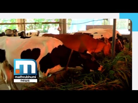 Prakasan's Twin Success In Dairy Farming, Mixed Cropping| Mathrubhumi News