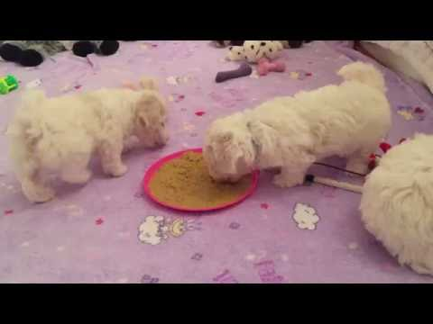"Bellissibolo Bolognese Puppies - ""C"" Litter 6 weeks old - Puppies eating together"