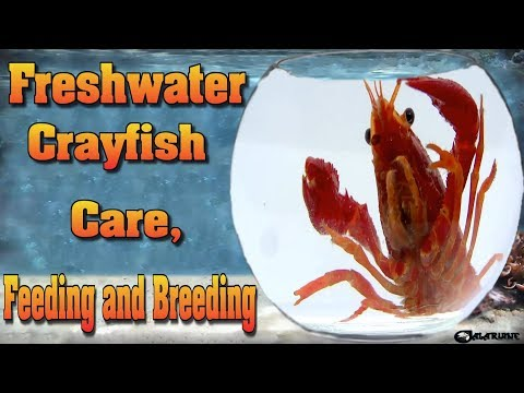 TOP 30 TIPS AND FACTS ABOUT FRESHWATER CRAYFISH BY FISH TANK AQUARIUMS 2018