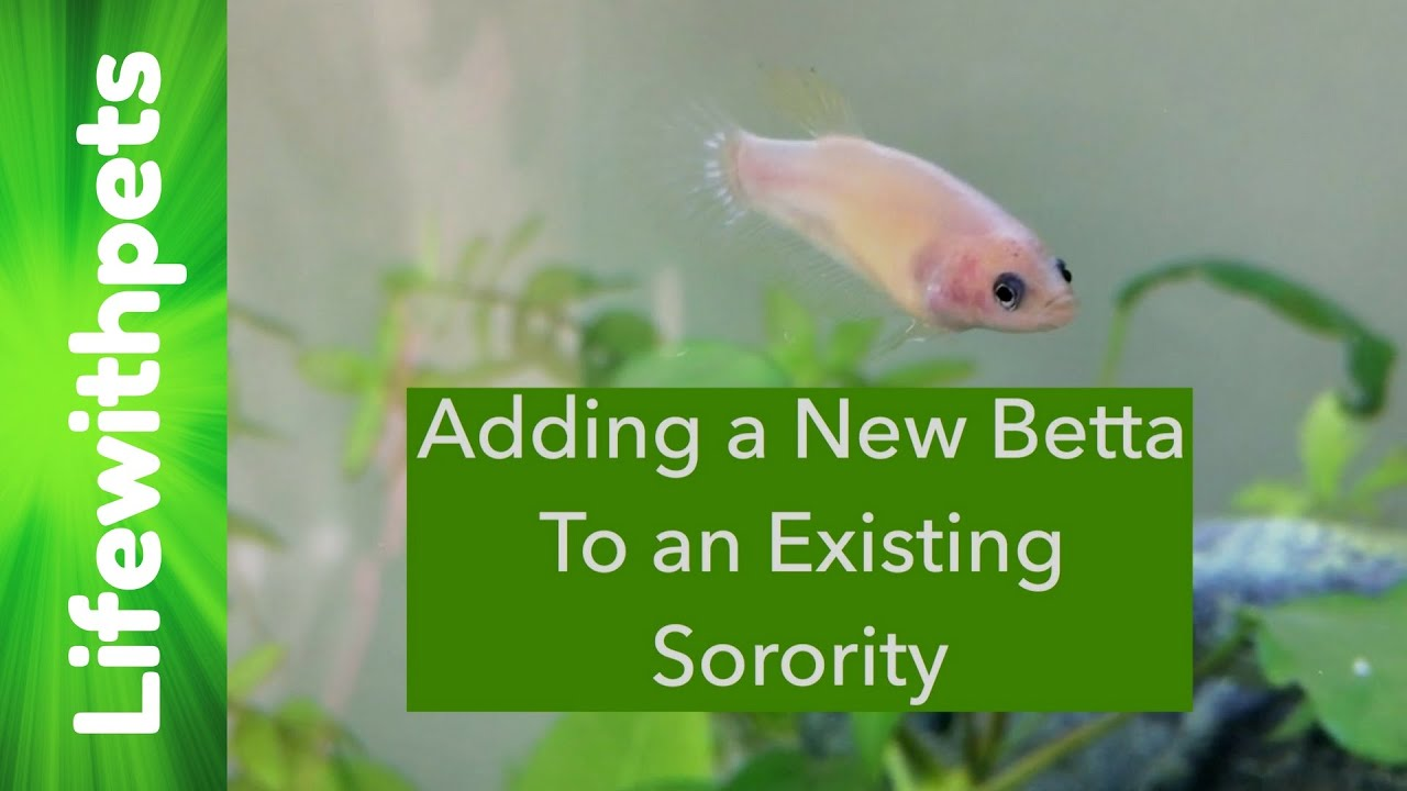 How to Add a Betta Fish to an Existing Sorority or munity Tank