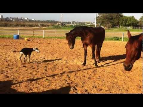 My saluki playing with horses