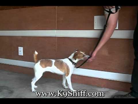 Bed Bug Dog Training Phoebe Part 2 www.K9Sniff.com - YouTube