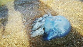Большая медуза на Азовском море.
