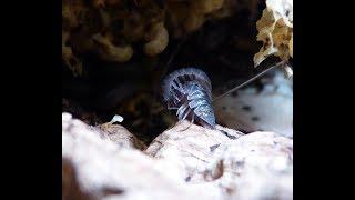 Isopodi in accoppiamento - Isopods playing sex