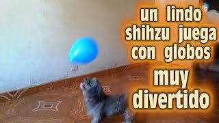 Shihtzu Playing With Ballons /shihtzu  Jugando Con Globos