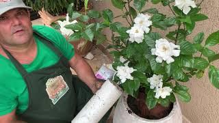 Saiba como Plantar Gardênia em Vasos na sua Casa ou Jardim