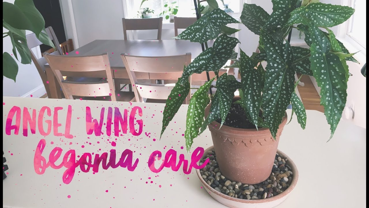 Angel Wing Begonia Care Youtube
