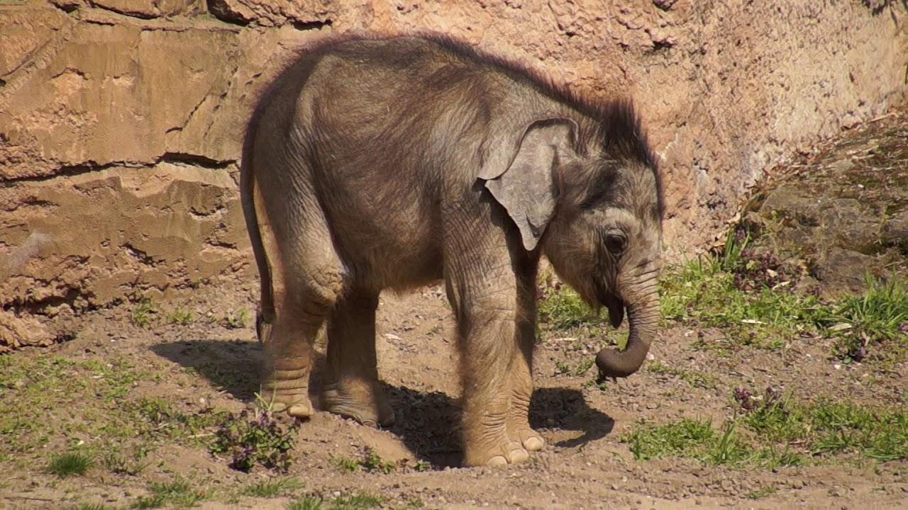 Baby elephant / Babyelefant Zoo Leipzig - YouTube