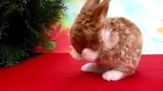Умываются крольчата. Забавные малыши декоративные кролики. Питомник кроликов Зайкина усадьба, Москва