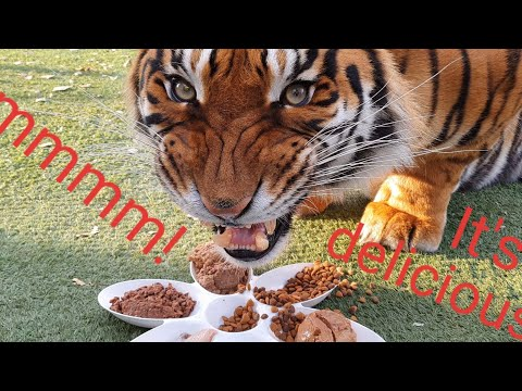 Tigers reaction to more types of food !
