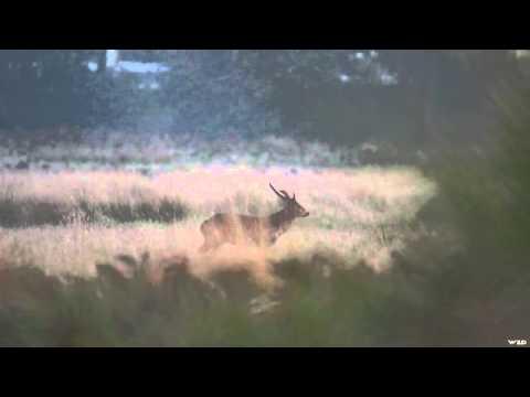 Where In The World Is Colorado Buck?  - Australia Hog Deer