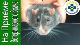Крыса Пасюк на Приёме у Ветеринара