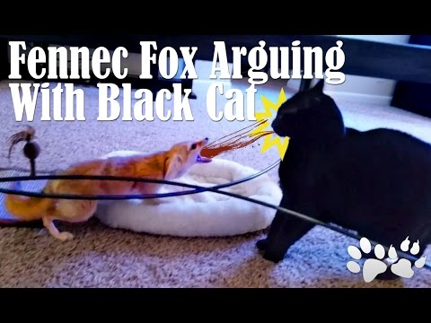 HILARIOUS Cat and Fennec Fox Arguing!!