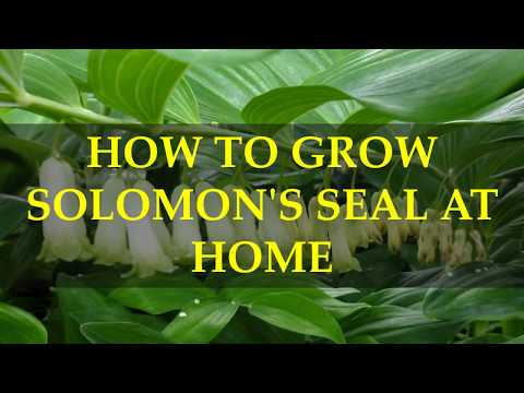 HOW TO GROW SOLOMON'S SEAL AT HOME