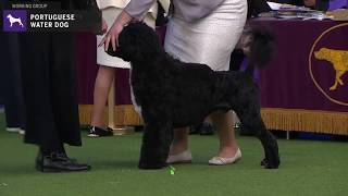 Portuguese Water Dogs | Breed Judging 2020