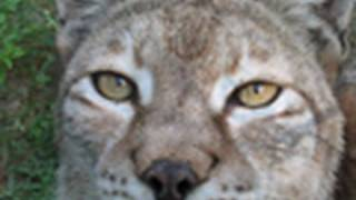 Lynx saved from Fur Farm (anti-fur p.s.a.) - Big Cat TV