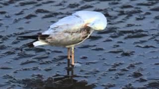 ♪鳥くん野鳥動画(タイBanpoo,thai)Slender-billed Gull ハシボソカモメ1w