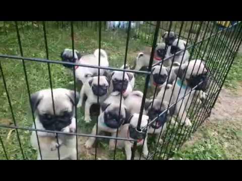 Mops štenci Veljko Elemir