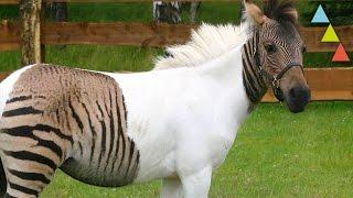 Los animales híbridos REALES más curiosos