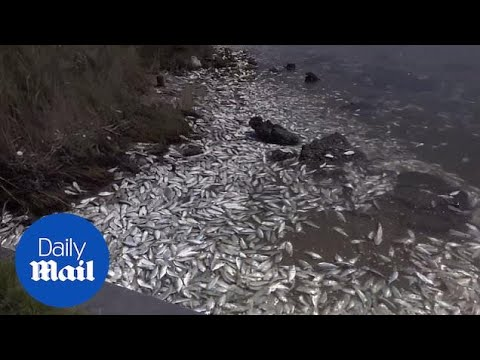 Thousands Of Dead Fish Wash Up In Texas - Daily Mail