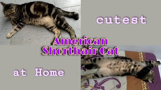 Cutest American Shorthair Cat at Home