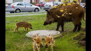 Великолепная Польша ! Дикие животные в центре города живут в гармонии с мегаполисом.