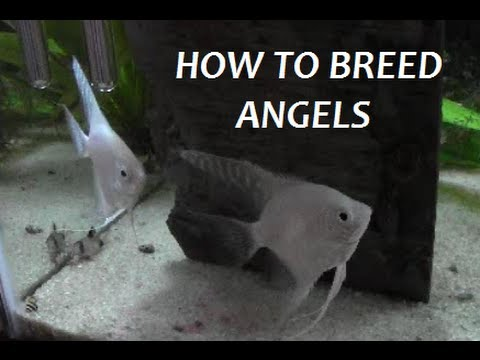 HOW TO BREED FRESHWATER ANGELFISH PART 1 Of 7  (Intro)