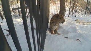 Дальневосточный леопард стал постояльцем Приморского сафари-парка
