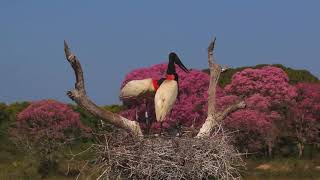 JABIRU STORKS ON THE NEST