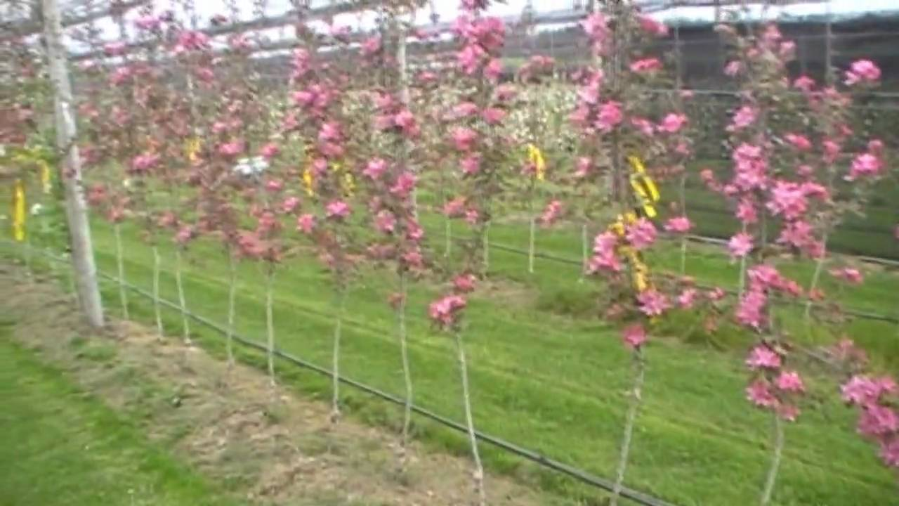 Red love apple tree for sale