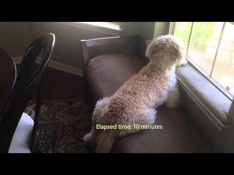 Sidiqi the Goldendoodle: Dad's Home