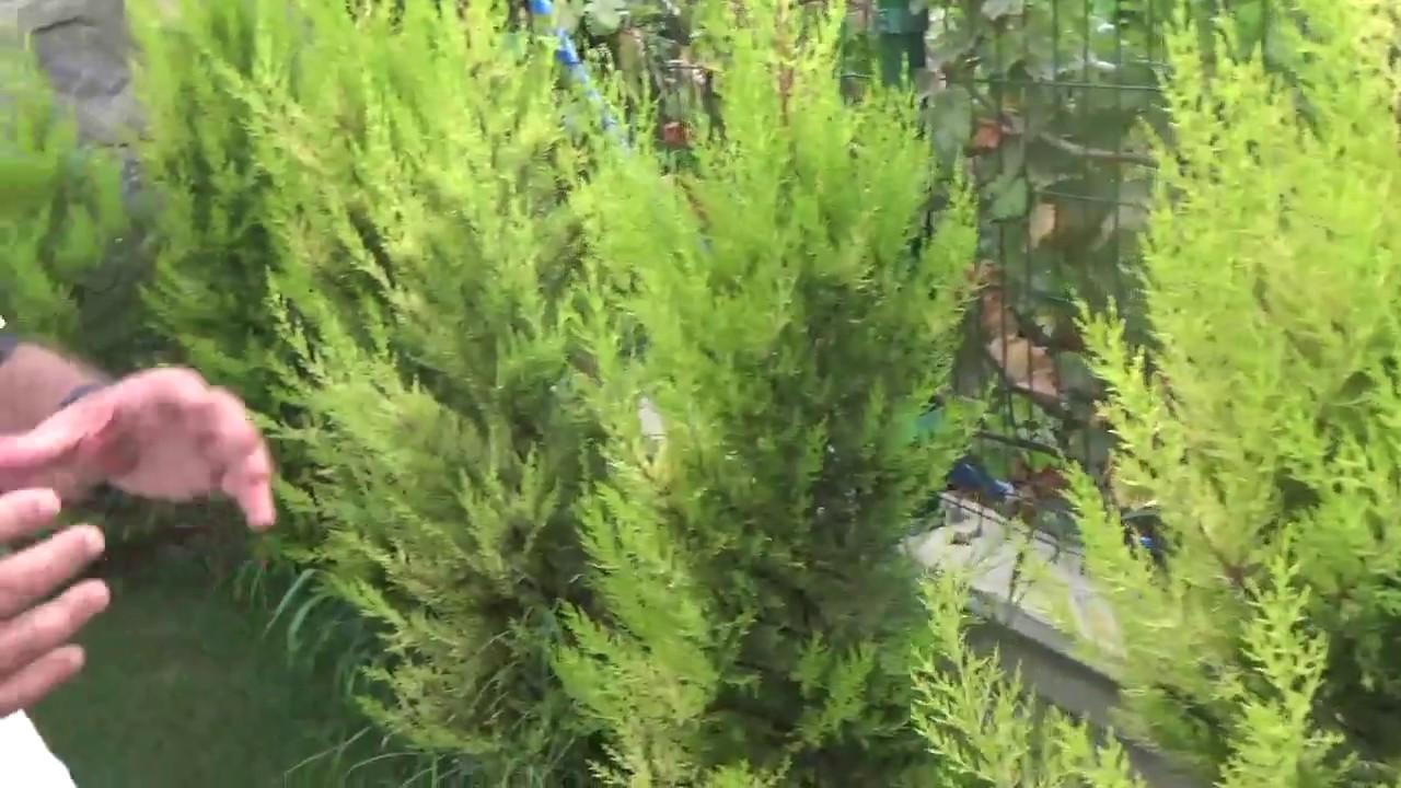 Selvi: Evde bitki bakımı