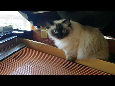 Bugsy, Ragdoll cat who loves piano music.  Alley Cat