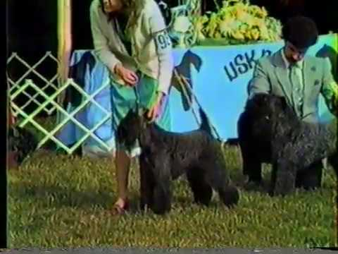 Kerry Blue Terrier Best of Breed Devon KC & Montgomery County KC 1984