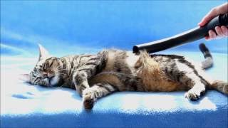Funny Reactions of a Cat on the Vacuum Cleaner