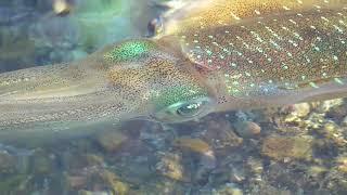 ヤエンで釣ったアオリイカをタイドプールで泳がせています