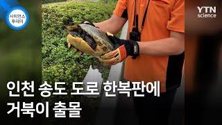 인천 송도 도로 한복판에 거북이 출몰  YTN 사이언스