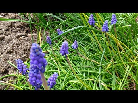 Мускари. Цветы ранней весны. Muscari Armeniacum.