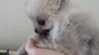 Tiniest Micro Teacup  Pomeranian Wolf Sable Silver Color  For Sale  ~ Very Rare !