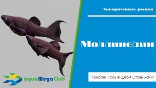 Моллинезии - вид аквариумных рыбок, представленных множеством вариететов различных окрасов и форм.