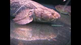 [高雄 山水水族量販] 筍殼魚35~40CM