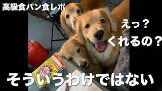 2000円の高級食パン食うレポートに愛犬達と挑戦します