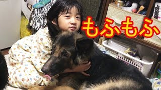 大型犬#ジャーマンシェパード・マック君 家の中では孫娘の りりかに何時...