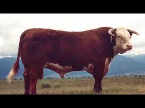 Disadvantages of angus cattle