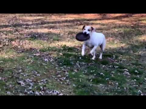 Our dog snoopy playing frisbee
