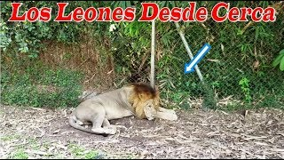 7- Los leones desde cerca - Por primera vez en Guatemala Parte 7
