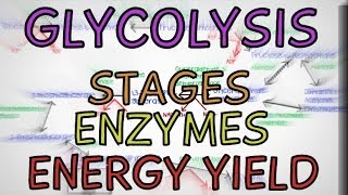 Glycolysis - Stages, Enzymes + Energy Yield