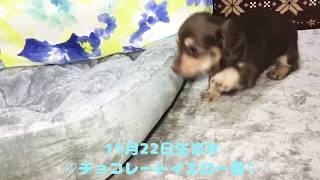 オーナー様、募集中の仔犬ちゃん~ BD.2017年11月22日 ▽ミニチュアダッ...